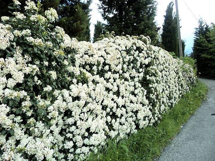 arbusti da siepe siepi come scegliere gli arbusti per