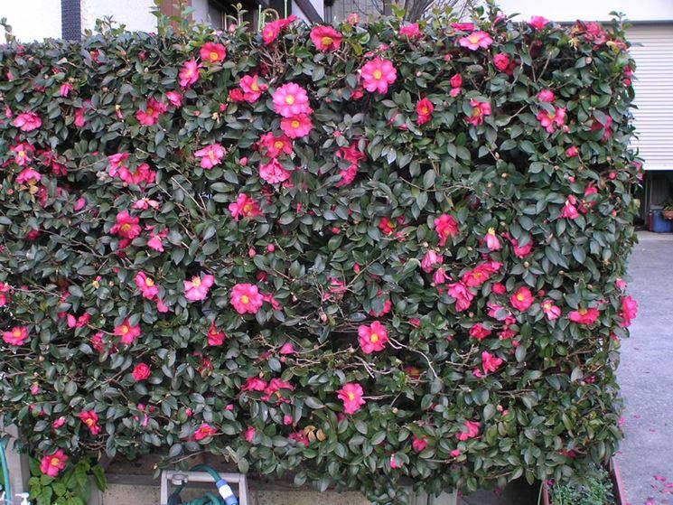Concimi per siepi siepi quale concime usare per le siepi for Piante sempreverdi con fiori