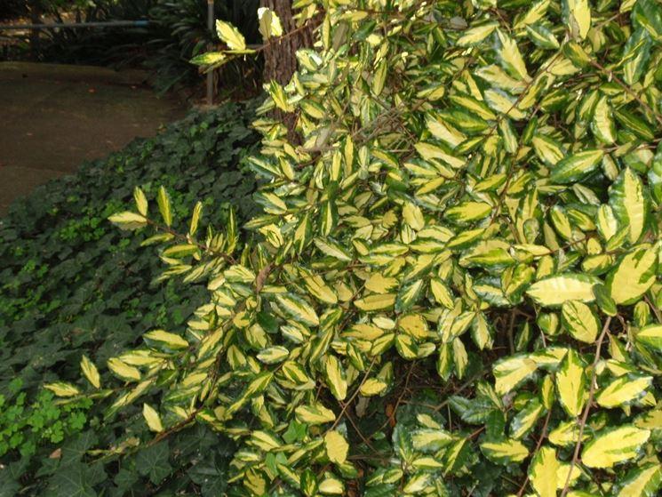 Eleagnus pianta