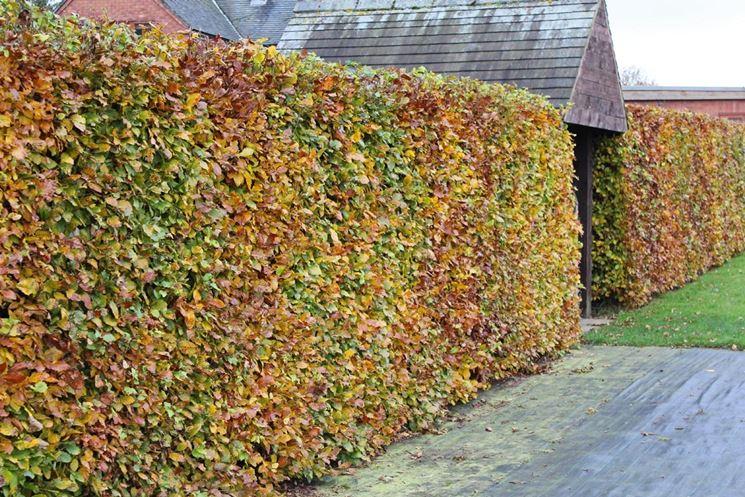 siepe di faggio in autunno