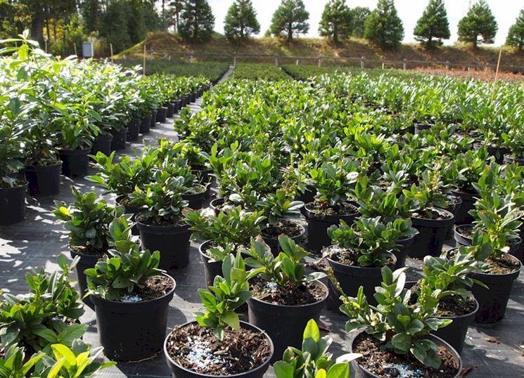 piante lauroceraso