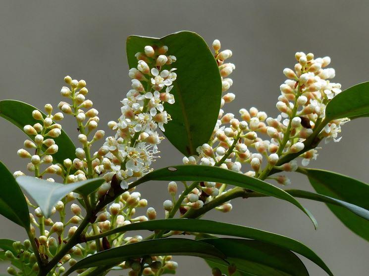 Lauroceraso foglie fiori