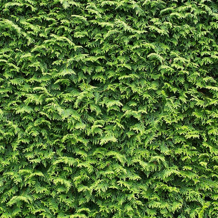 Leylandii pianta siepe