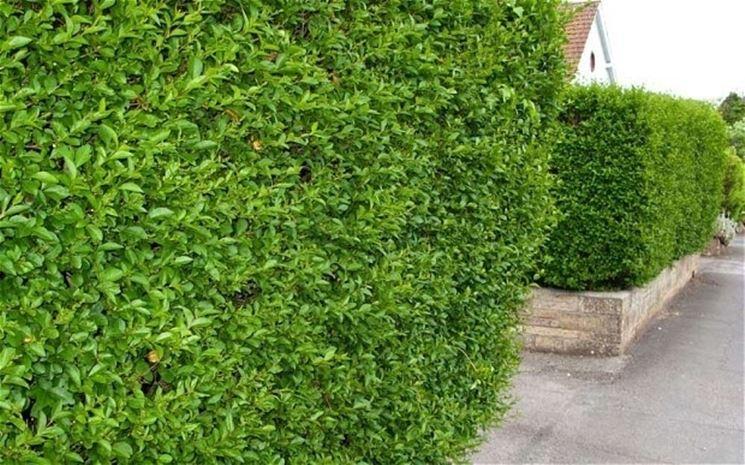 Ligustro da siepe siepi ligustro da siepe giardino for Pianta bosso prezzo