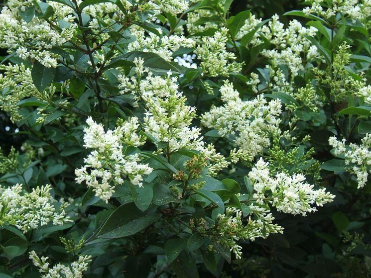 Ligustro in fiore