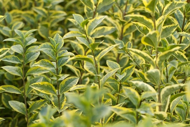 ligustro da siepe - siepi - ligustro da siepe - giardino - Siepe Da Giardino Piccolo