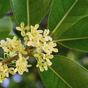 fiorellini di <strong>osmanthus</strong> fragrans