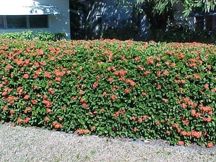Siepe con fiori colorati
