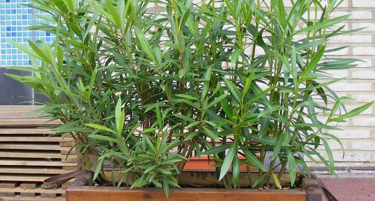 Mobili lavelli piante da siepe in vaso for Piante da frutto vaso