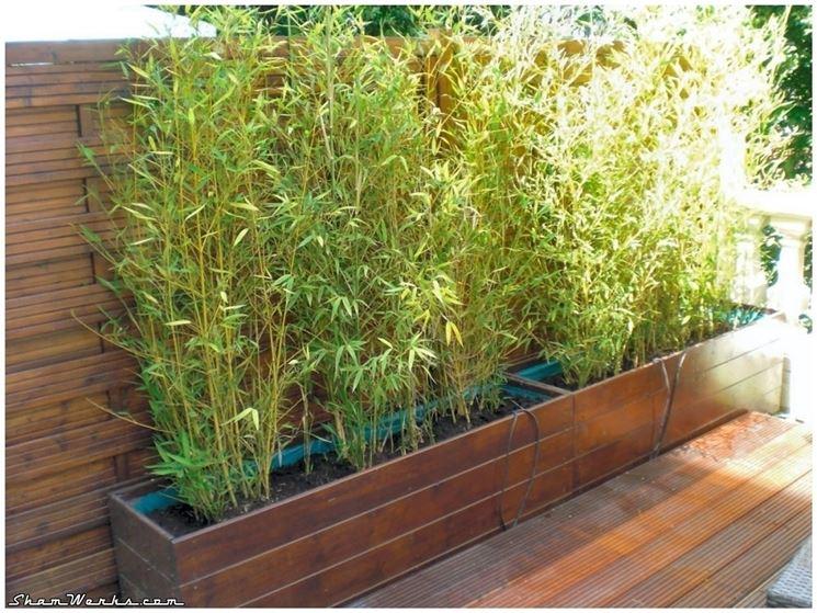 Piante da siepe in vaso siepi siepe in vaso - Nomi di piante da giardino ...