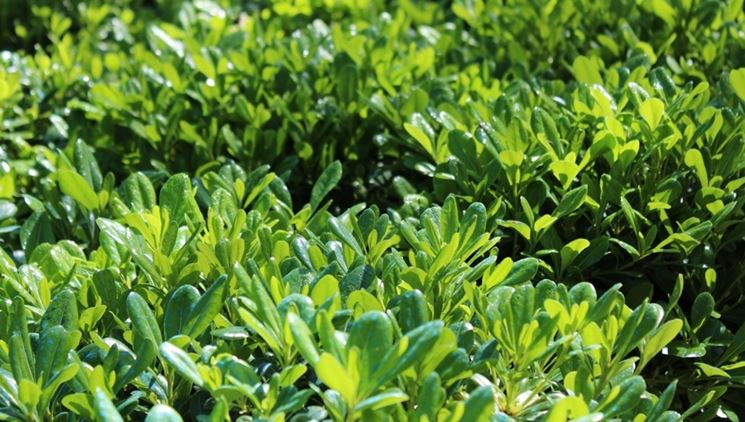 Piante da siepe prezzi siepi costo delle piante da siepe for Piante per siepi sempreverdi