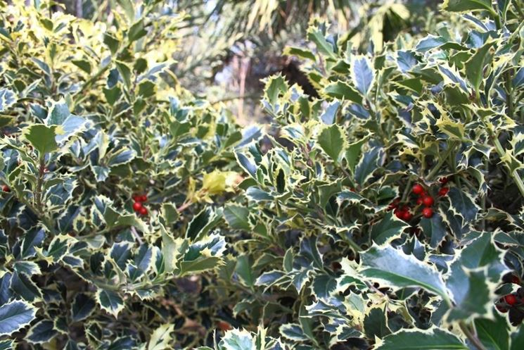 Siepe di agrifoglio variegato