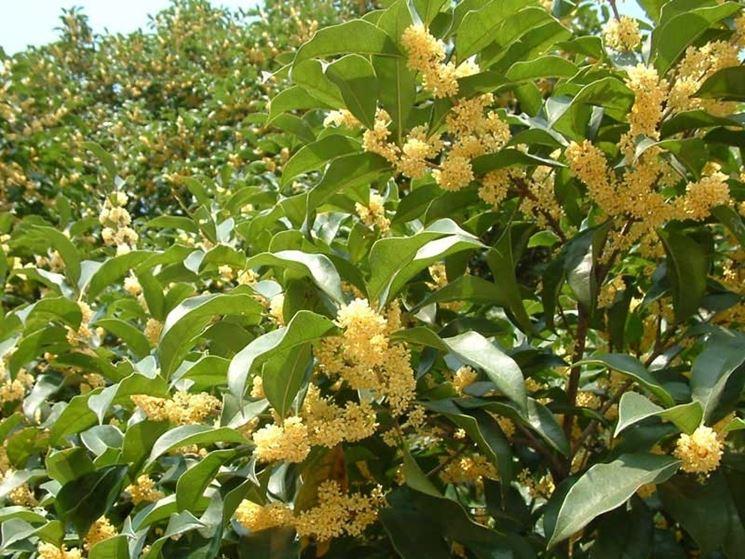 Siepe di osmanto in fiore