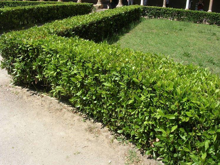 Piante da siepe siepi come coltivare le piante da siepe - Piante alte da giardino ...