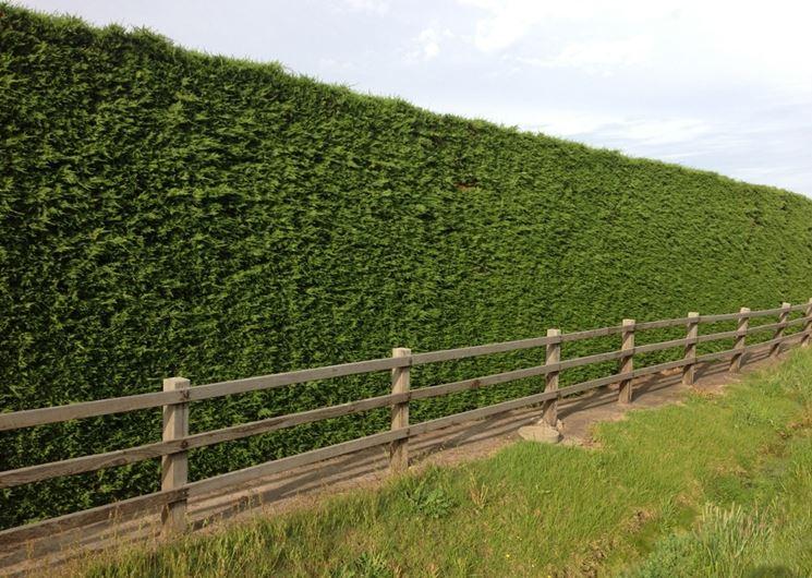 Piante da siepe siepi come coltivare le piante da siepe for Piante siepe sempreverde