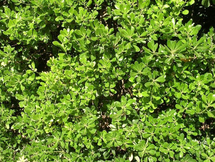 Piante da siepi sempreverdi siepi scegliere for Piante verdi perenni da giardino