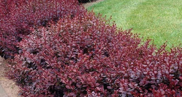 Piante per siepi sempreverdi siepi caratteristiche for Piante verdi perenni da giardino