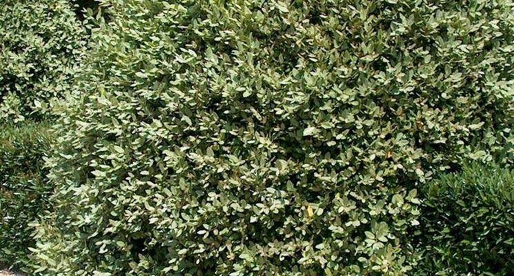 Piante per siepi sempreverdi siepi caratteristiche for Fiori sempreverdi da giardino