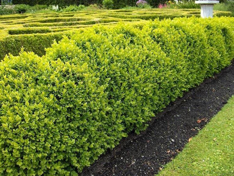 Piante per siepi sempreverdi siepi caratteristiche - Nomi di piante da giardino ...
