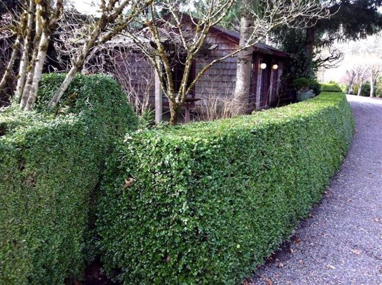 Piante sempreverdi da siepe siepi siepe con piante for Bosso siepe