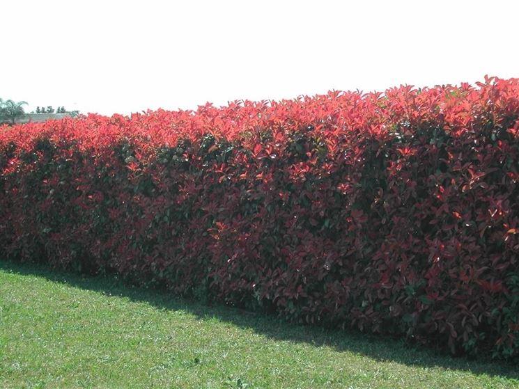 Piante sempreverdi da siepe siepi siepe con piante - Siepi ornamentali da giardino ...