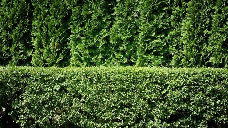 Siepe di sempreverde.