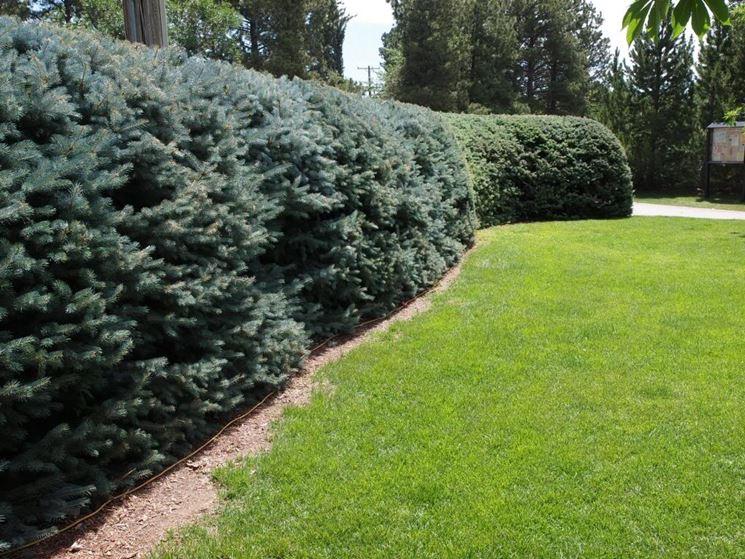 pini da siepe siepi pini da siepe giardino