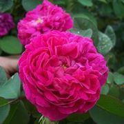 rosa da siepe