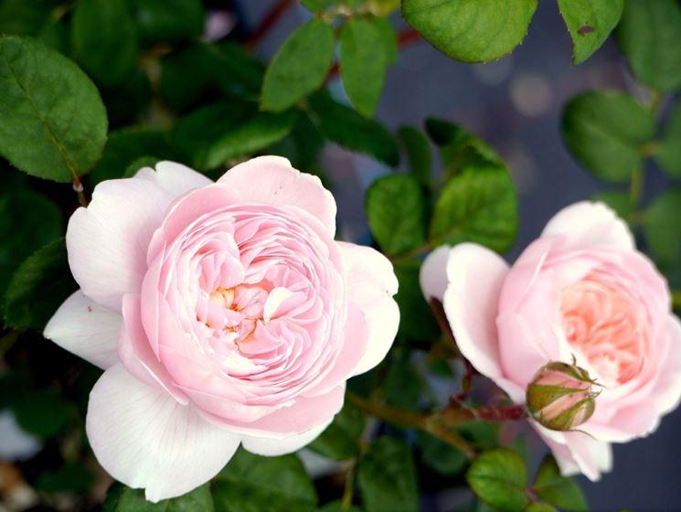 Rose da siepe siepi rose da siepe giardino for Rose da giardino