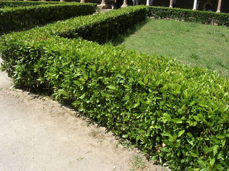 Siepe alloro siepi siepe di alloro for Divisori da giardino