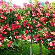 Bellissima siepe fiorita composta da rose gialle e rosse