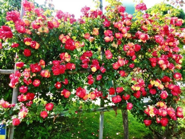 Bellissima <em>siepe fiorita</em> composta da rose gialle e rosse