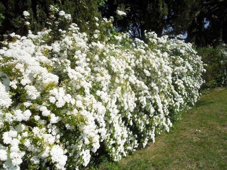 Siepe fiorita con meravigliose spiree bianche