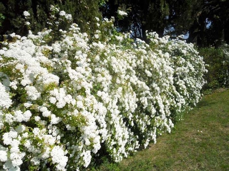 Siepe fiorita siepi come coltivare una siepe fiorita for Siepe finta amazon