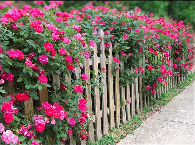 Siepe fiorita con rose