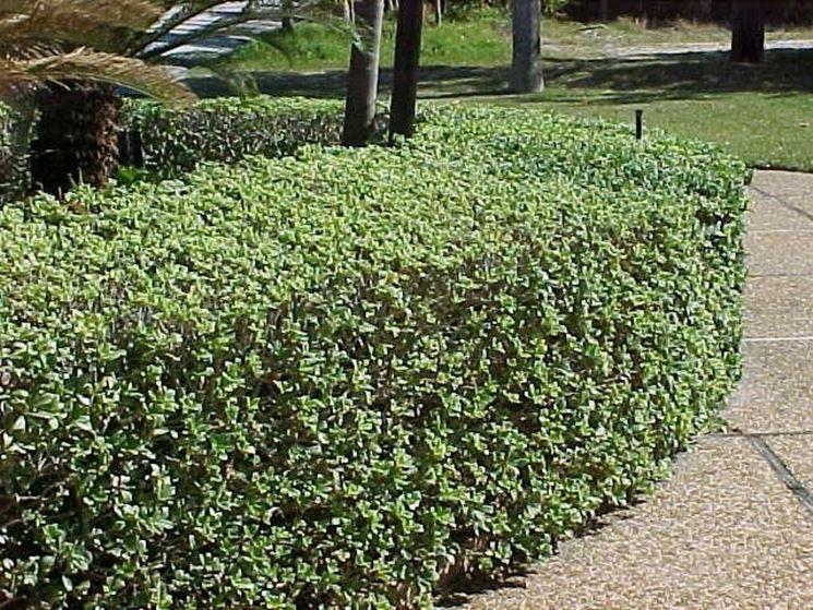 Siepe pitosforo siepi siepe pitosforo giardino for Pitosforo siepe