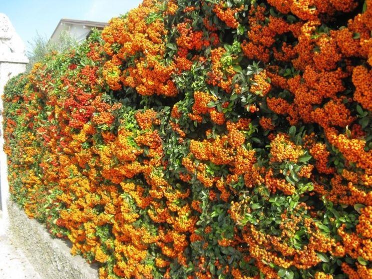 Siepe pyracantha siepi caratteristiche della siepe for Piante siepe sempreverde