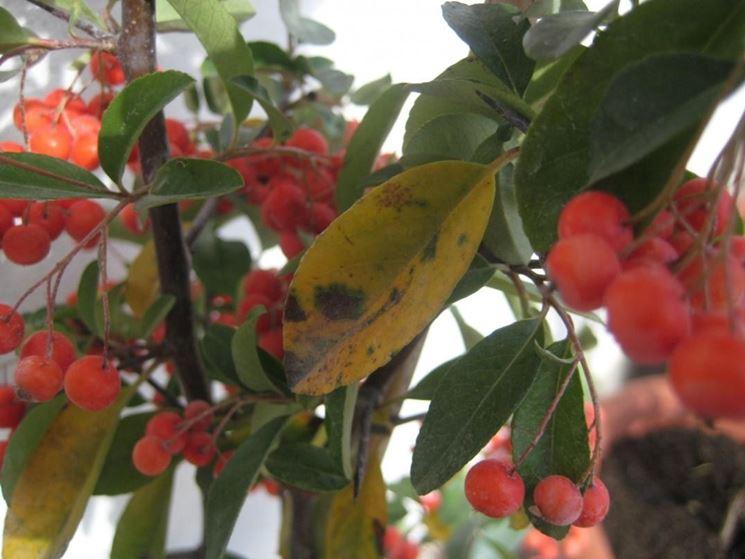 Malattie delle piante di pyracantha