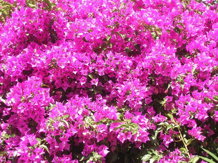 Bouganville in piena fioritura
