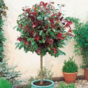 Albero singolo in vaso di�Photinia Red Robin