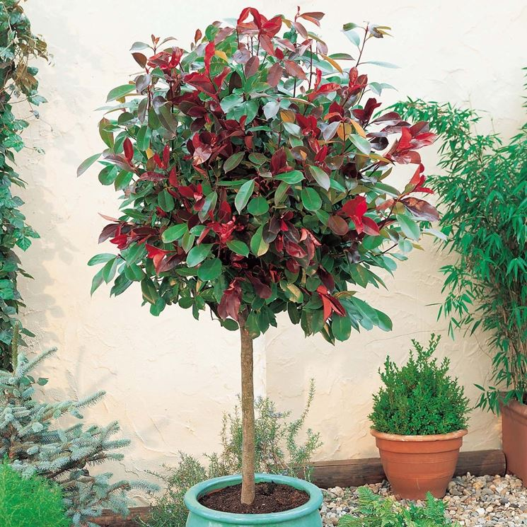 Albero singolo in vaso di Photinia Red Robin