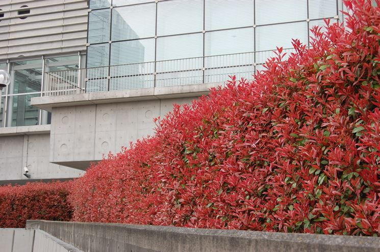 Siepe rossa diPhotinia Red Robin