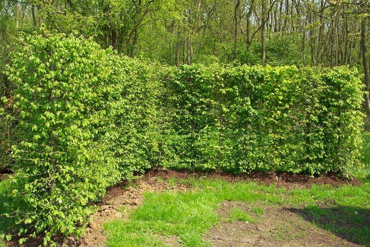 Siepe sempreverde siepi siepe sempreverde per giardino for Siepe finta amazon