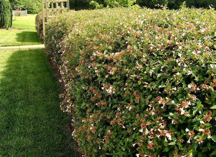 Siepi basse siepi piante per siepe bassa - Siepi da giardino fiorite ...