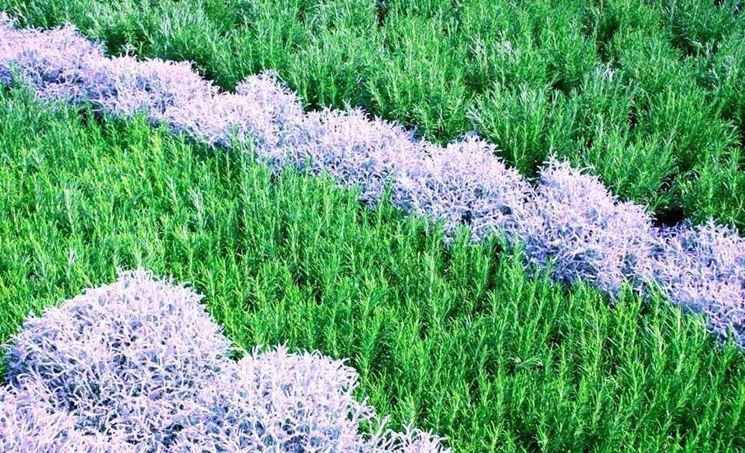 Siepi basse di piante aromatiche