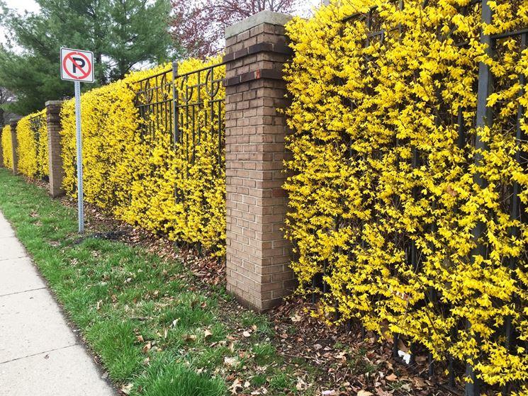 Siepi con fiori siepi siepi con fiori caratteristiche for Piante per siepi