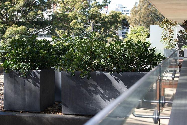 Siepi da balcone siepi come realizzare le siepi per il - Gardenia pianta da giardino ...