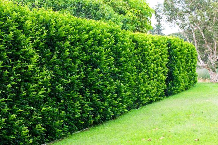 Le siepi da giardino sempreverdi proteggono la privacy