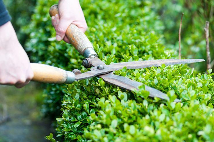 La potatura mantiene la siepe all'altezza desiderata e favorisce il rinfoltimento