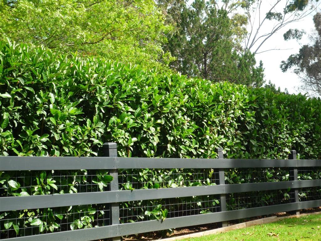 Siepi da recinzione siepi scegliere le siepi da recinzione for Siepe finta amazon